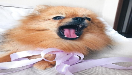 SUPER AMAZING POMERANIAN PUPPIES FOR REHOMING