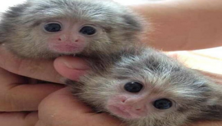 Young Finger Marmoset s Available.