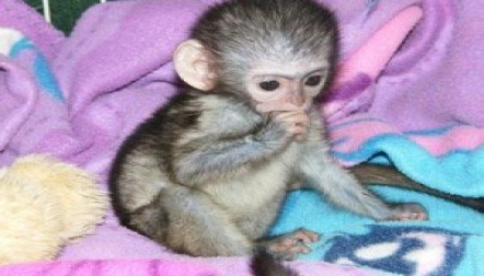 Adorable baby Capuchin s for sale