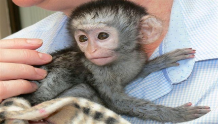 Gorgeous Baby Capuchin s available