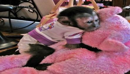 Healthy Baby capuchin monkeys ready for sale
