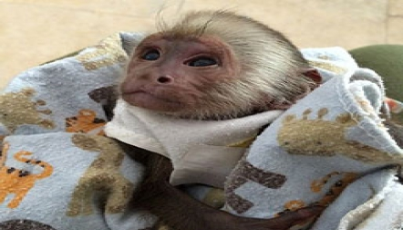 9 weeks old baby Capuchin s for sale .,