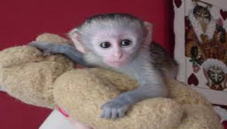 Friendly baby Capuchin s for sale ..,