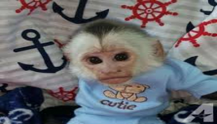 Socialize Baby Capuchin s ready for sale