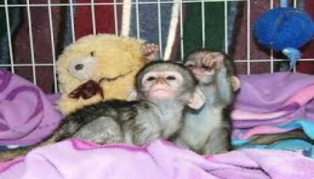 Potty Trained Baby Capuchin s for sale now