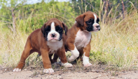 Active Boxer Puppies male and female