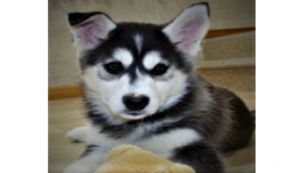 Blue Eyes Siberian husky Puppies Ready Now,  whatsApp (+9715