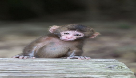 Capuchins for sale.