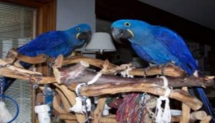 Macaw Pair Available