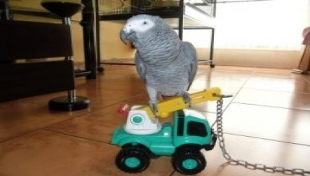 African Gray Parrots Ready For New Homes