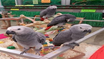 Male and female  African gray parrots for sale