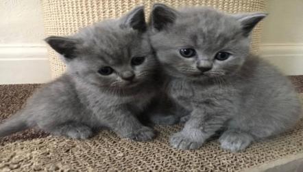 Gorgeous British Shorthair Kittens for sale