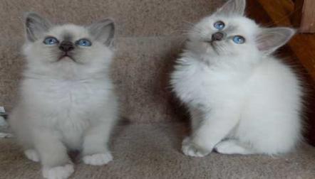 Gorgeous Birman Kittens for sale