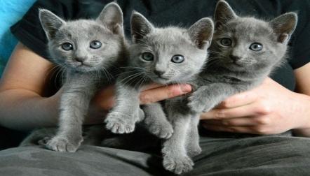 Lovely Russian Blue Kittens for sale