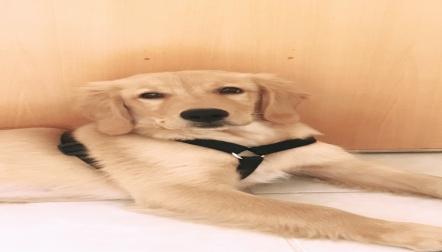 Golden retriever puppy for adoption