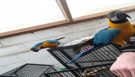 Blue and Gold Macaw For Sale.