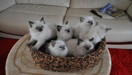 Ragdoll kittens For Adoption